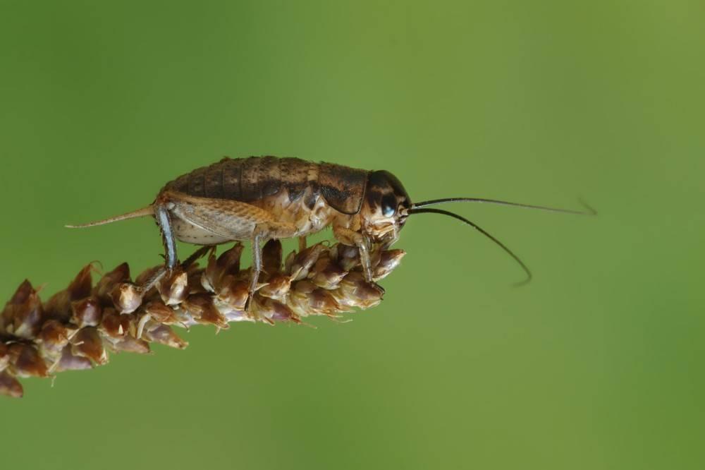 Сверчок домовый - фото, описание, место обитания насекомого