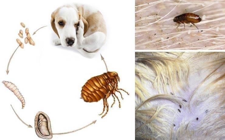 Ни кто не застрахован! блоха человеческая: виды и наносимый вред