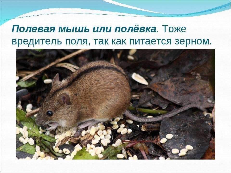 Мыши-полевки: длиннохвостые садовые вредители широкого спектра действия