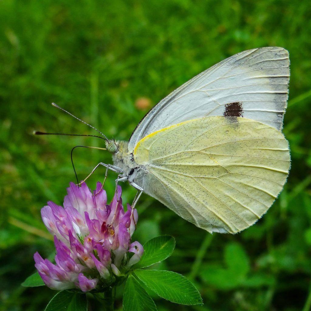 Бабочка капустница, вредитель капустная белянка, меры борьбы