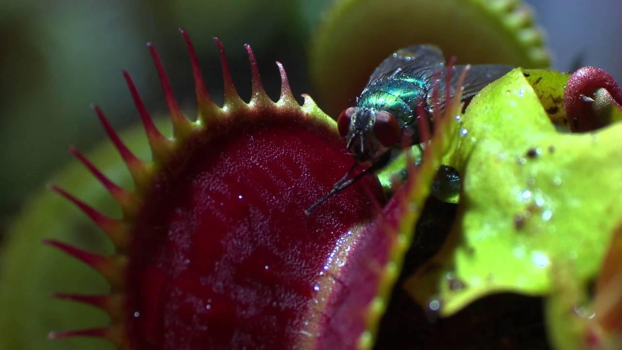 Растения-хищники на вашем окне: виды, выращивание, уход