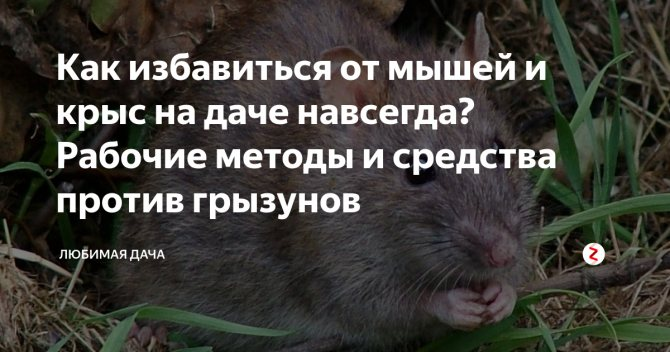 Как избавиться от мышей на даче навсегда: народные средства для борьбы