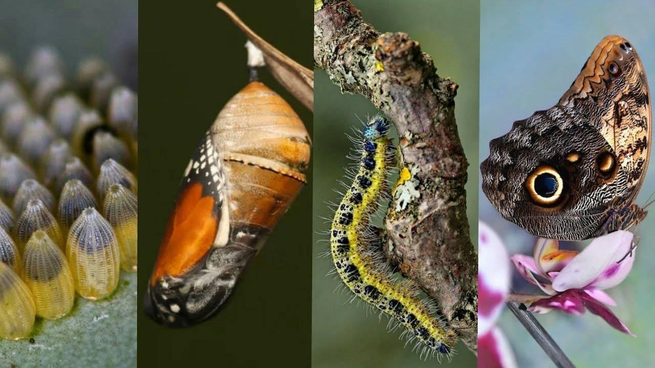 Размножение бабочки в картинках