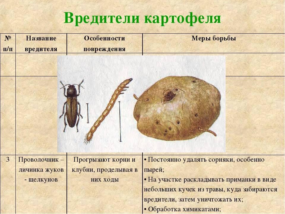 Основные болезни и вредители картофеля: фото, меры борьбы, обработка растений от самых опасных насекомых и заболеваний