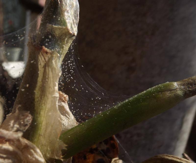 Паутинный клещ на орхидее: причины появления, как бороться с вредителями в домашних условиях