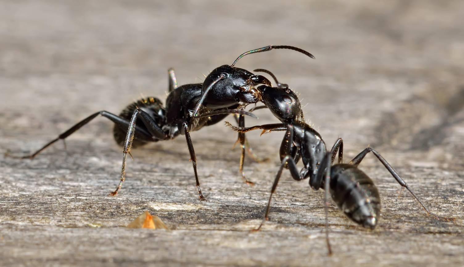 Большие черные муравьи – фото и описание