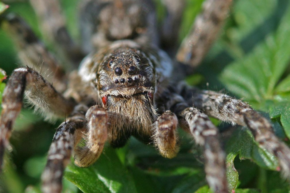 Особенности пауков-волков: структура туловища, жизненный цикл и ареал обитания хищника