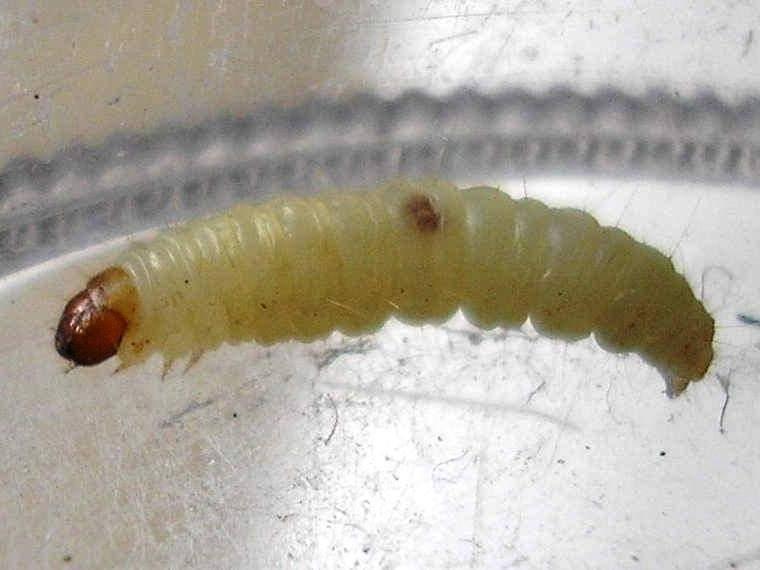 Как избавиться от личинок моли: проверенные способы борьбы
