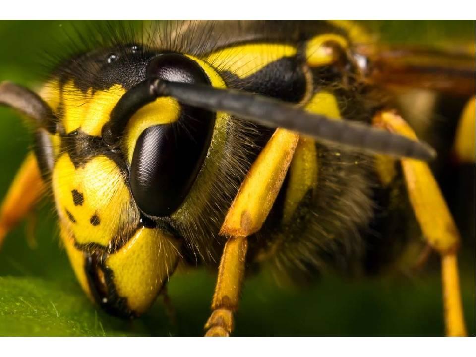 Осиное гнездо. из чего осы делают гнезда: какие строительные материалы используют насекомые?