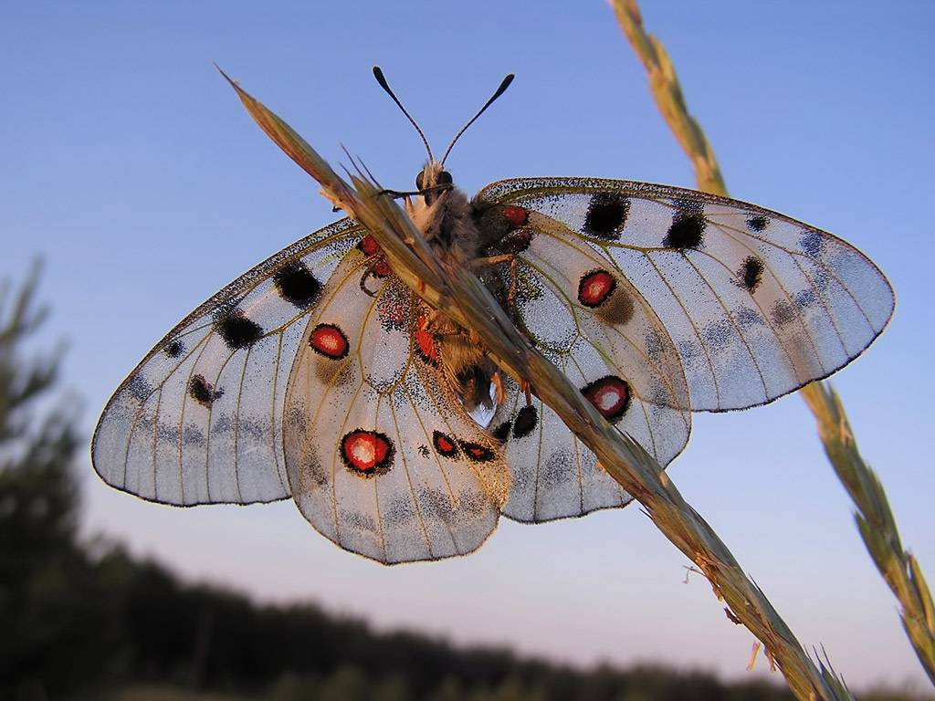 Бабочка аполлон - описание, среда обитания, виды
