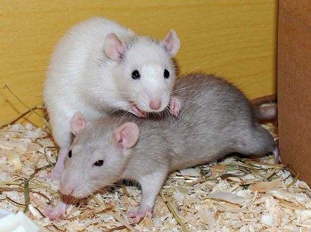 Как выглядят крысы: тип телосложения, окрасы шерсти декоративных грызунов