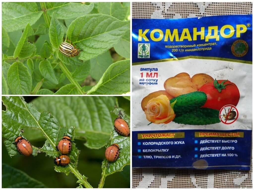 Как правильно использовать средство Командор против колорадского жука