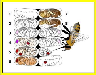 Пчела – описание, виды, размножение, чем питается, фото