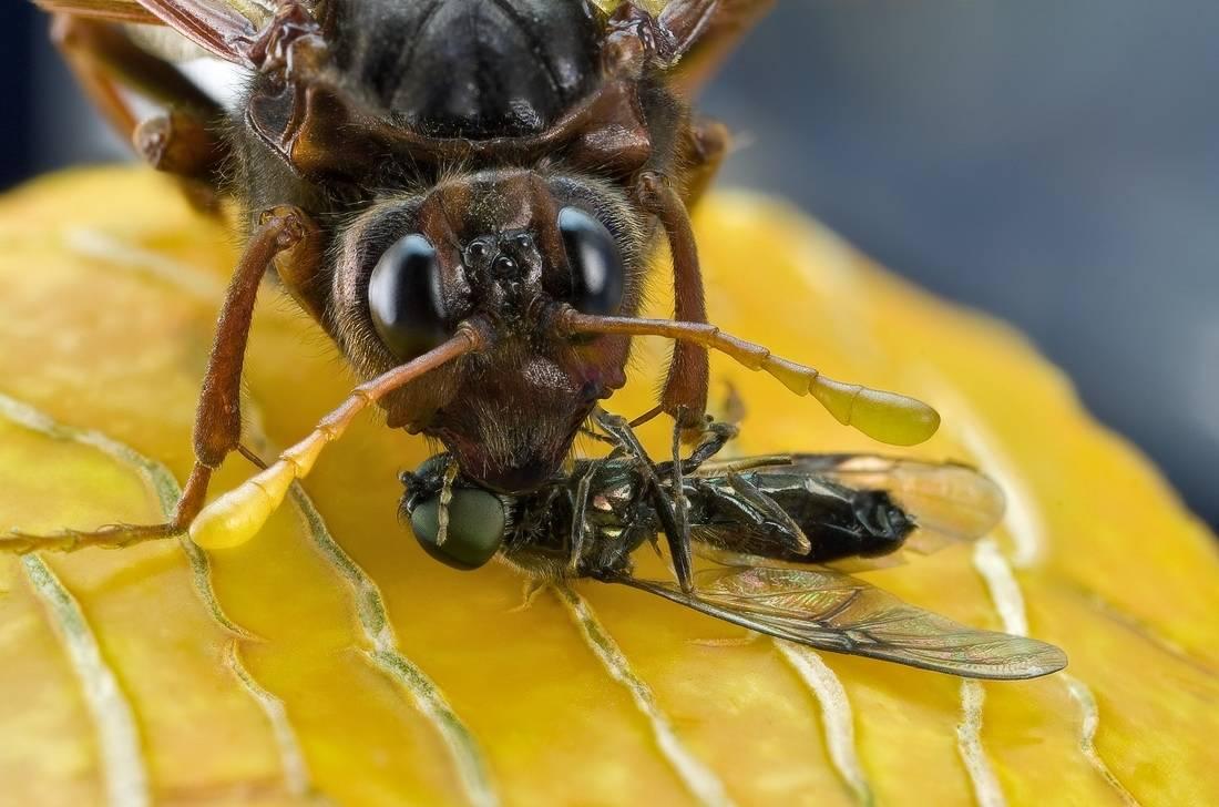 Дынная муха: как выглядит и чем опасна