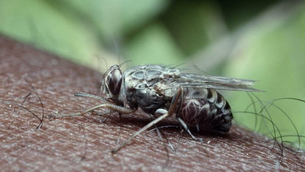 Муха цеце: как выглядит, фото, какие болезнь переносит, где живет, кого кусает