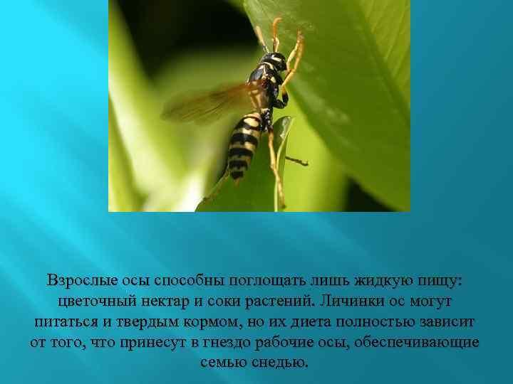 Личинки пчел - стадии развития, питание, применение в лечении