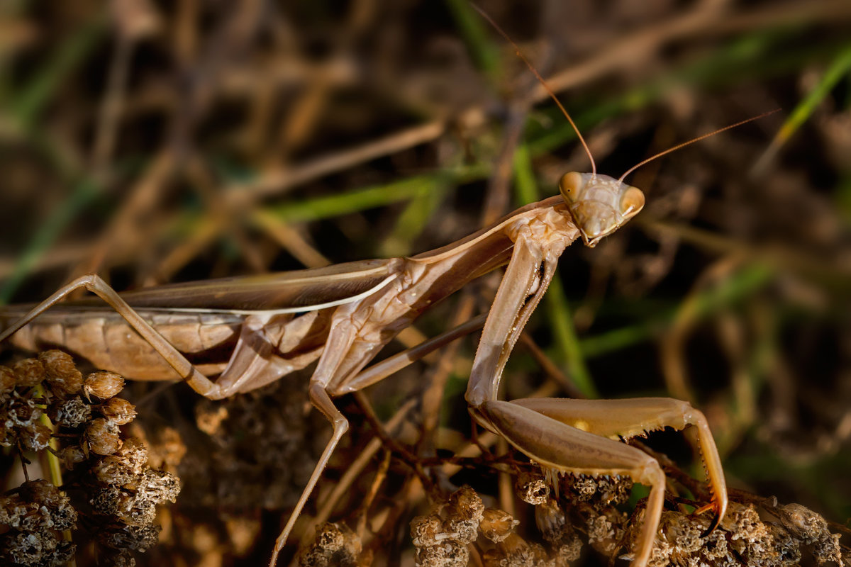 Насекомое богомол фотографии. богомол обыкновенный – живая ловушка для насекомых