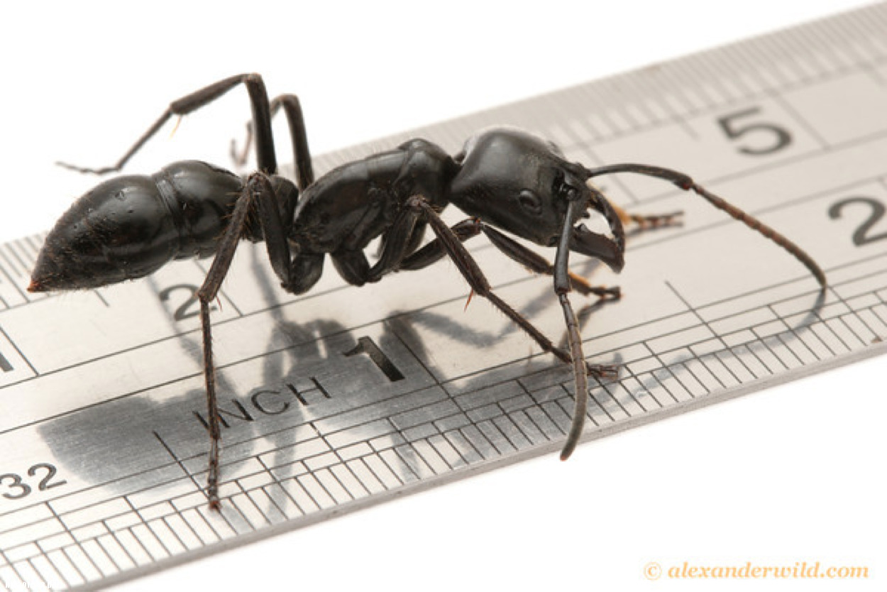 Сколько весит муравей и какую массу он может поднять?