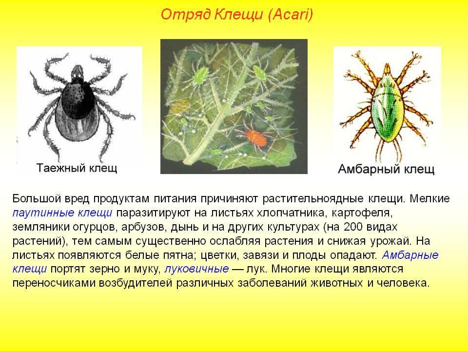 Клещи: виды вредителей и методы борьбы, профилактические меры