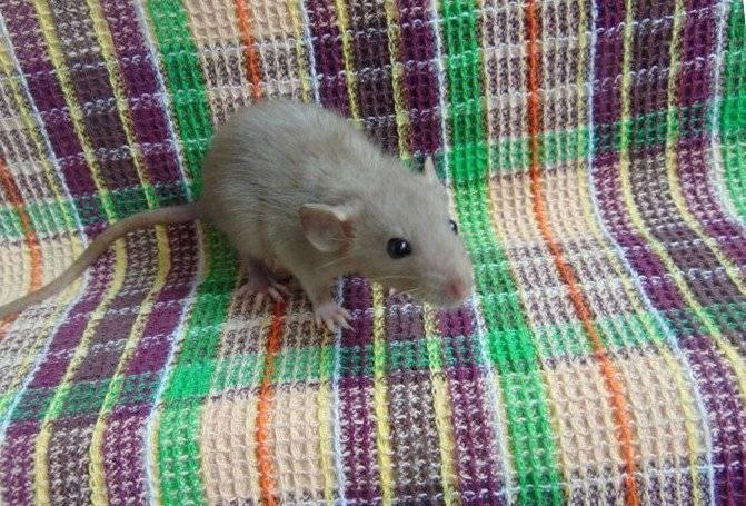 ᐉ домашняя крыса издает странные звуки, что они означают - zoopalitra-spb.ru