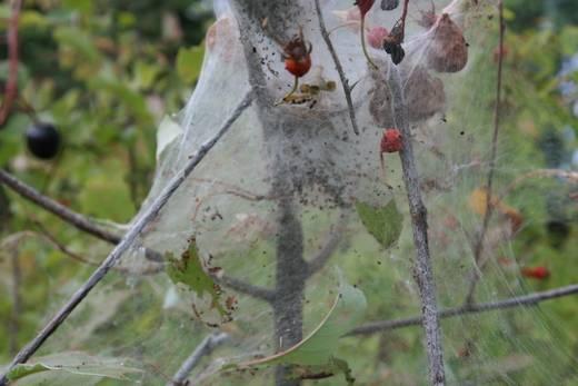 Паутинный клещ на комнатных растениях и в огороде: как бороться в домашних условиях, фото, симптомы заражения