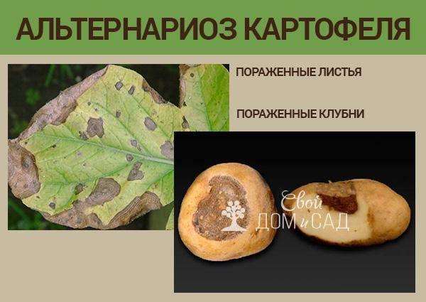 Вредители картофеля, борьба с болезнями