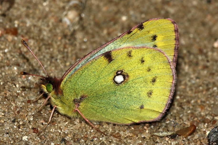 Бабочка желтушка луговая: фото и описание образа жизни