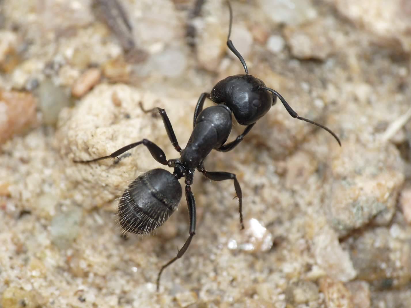 Черный муравей: как вывести из дома и квартиры навсегда, лучшие средства