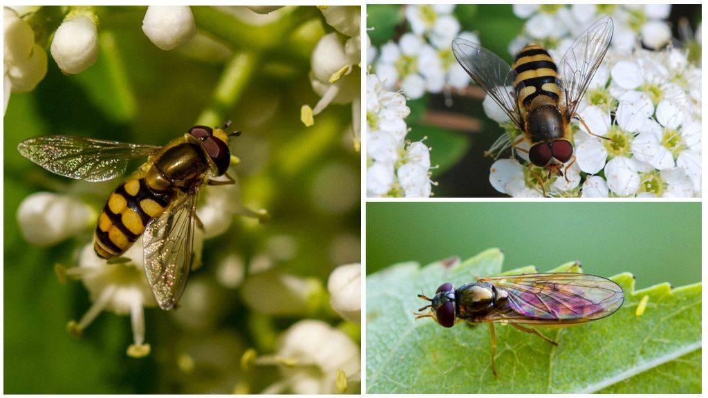 Виды мух: фото, названия и описание