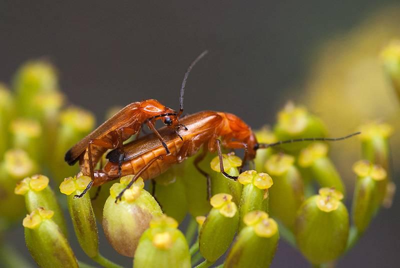 Жук-пожарник или мягкотелка красноногая — полезное насекомое