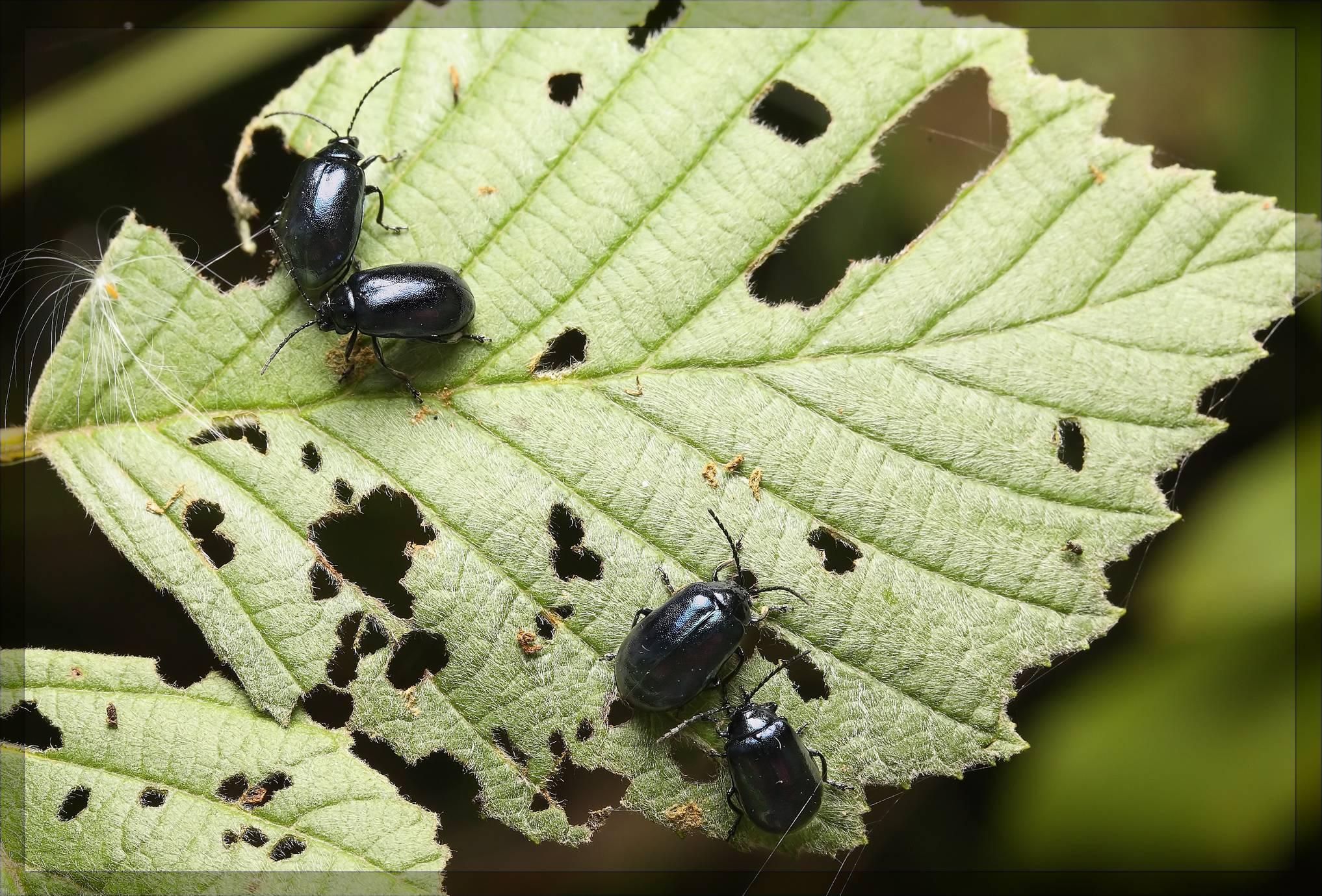 Ольховый листоед: фиолетовая козявка, поедающая листву деревьев