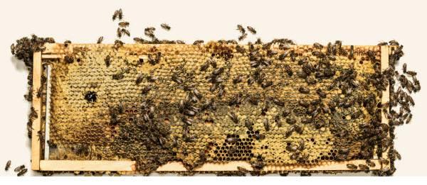 10 вещей, которые пропадут навсегда, если исчезнут пчелы - hi-news.ru