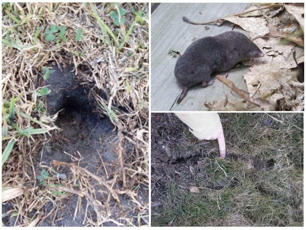 Водяная крыса на огороде: как бороться на дачном и садовом участках