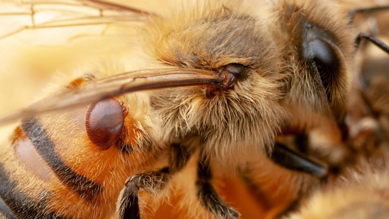 Клещ варроа у пчел - болезнь варроатоз: развитие и лечение