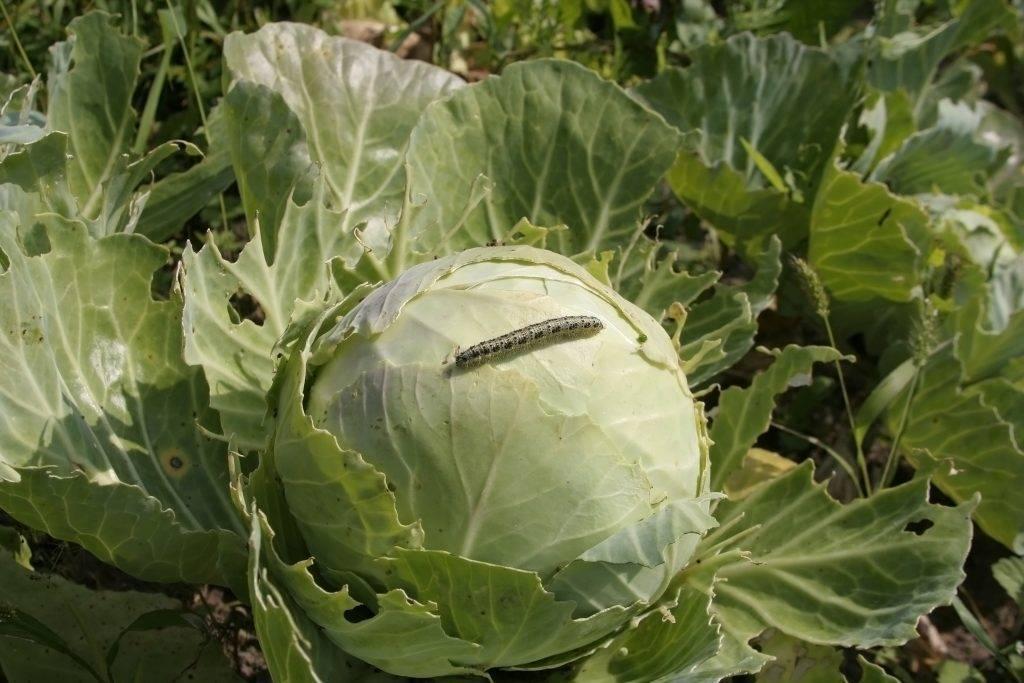 Болезни и вредители капусты: фото, описание, чем можно обработать растения в открытом грунте
