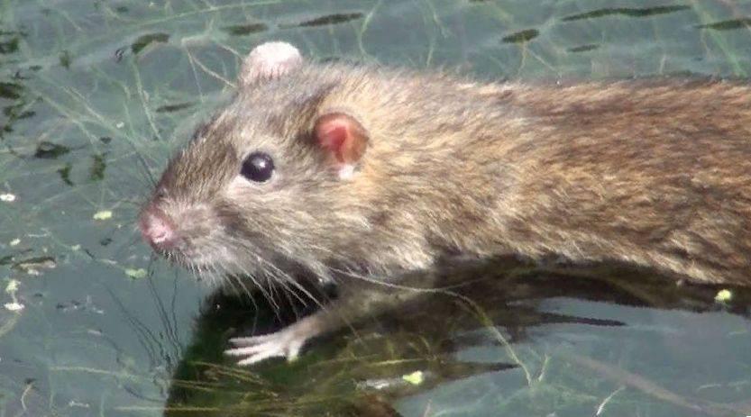 Можно ли мыть или купать декоративную крысу, как часто купать крыс | royal groom