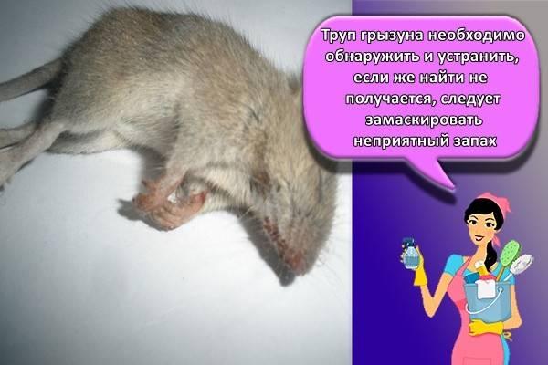 Сдохла мышь под полом − как избавиться от запаха