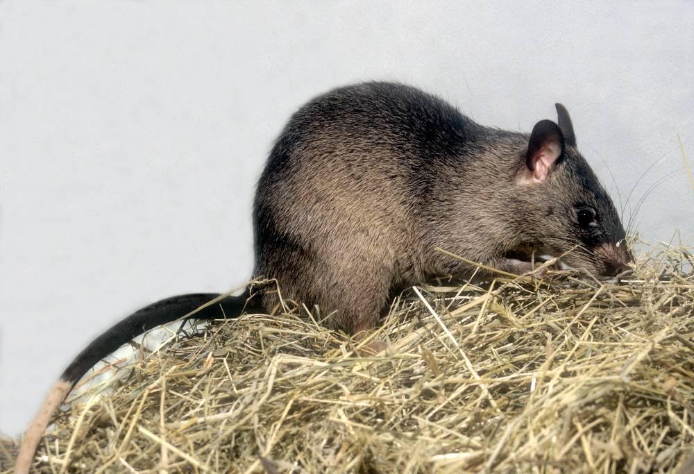 Самые большие крысы в мире: фотографии огромных представителей - экстремально - медиаплатформа миртесен