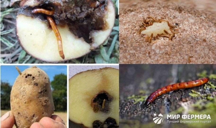 Проволочник в картошке как избавиться: препараты и народные средства + фото и отзывы