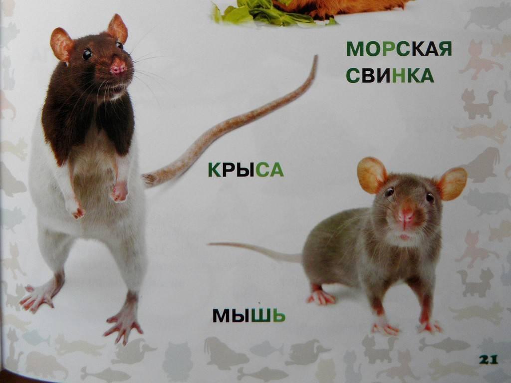 Различия между крысой и мышью: внешний вид и умственный способности