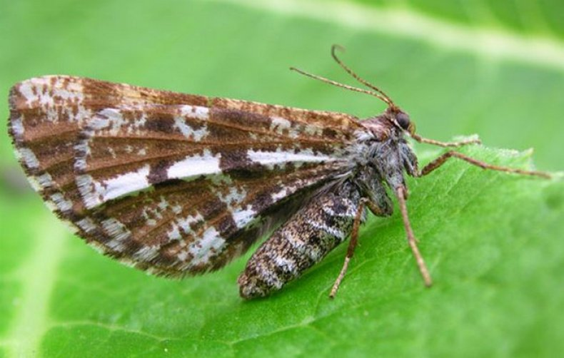 Березовые пяденицы: вред наносимый бабочками и меры борьбы с ними русский фермер