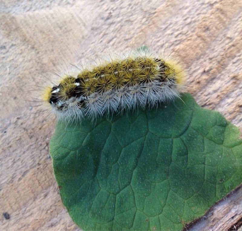 Гусеница - 94 фото самых необычных и красивых личинок бабочек