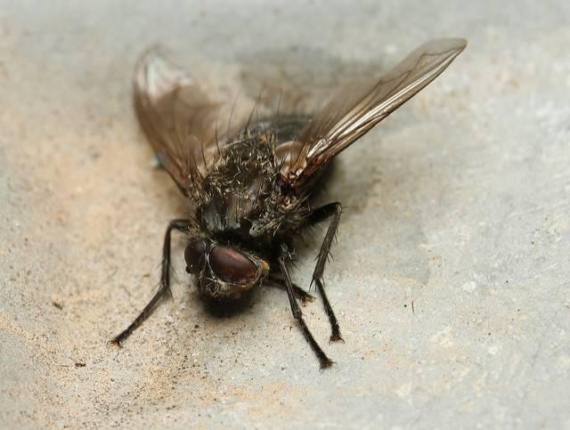 Как избавиться от мух на улице и во дворе народными средствами