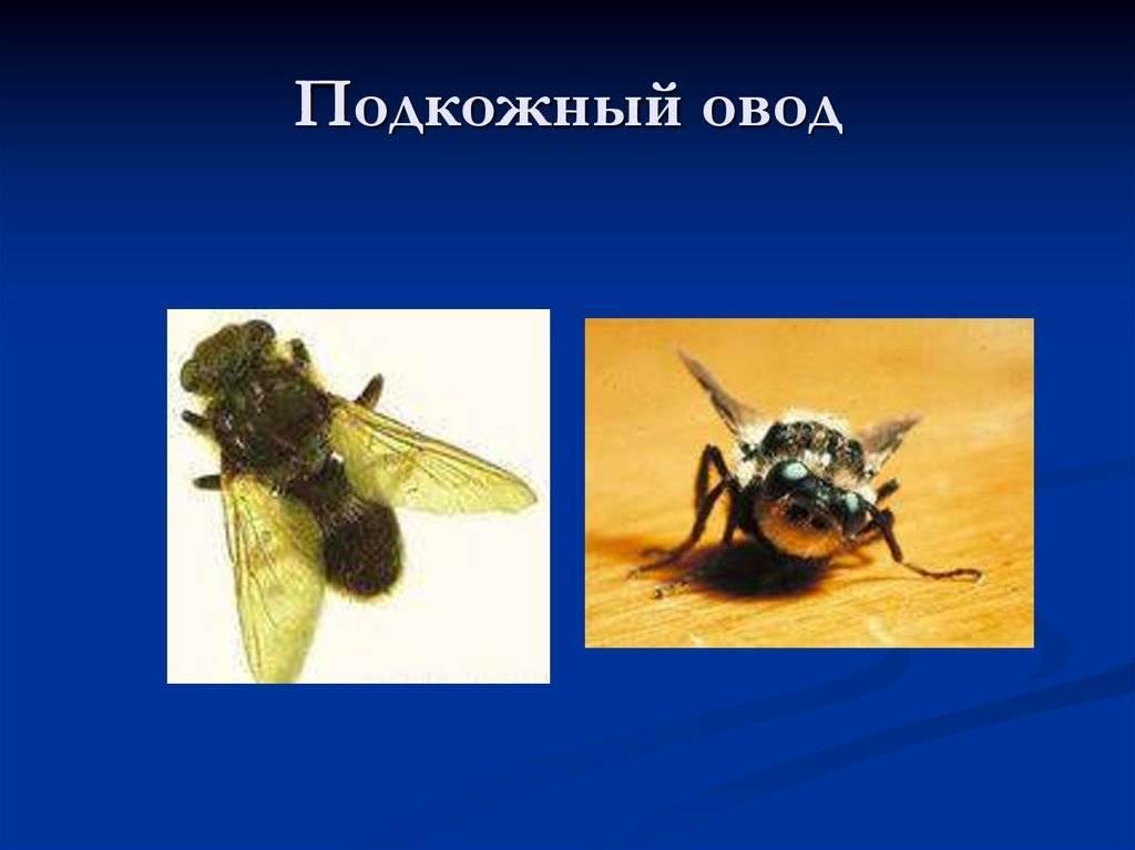 Паразиты в рыбе, опасные для человека: классификация, описание, какие заболевания вызывают