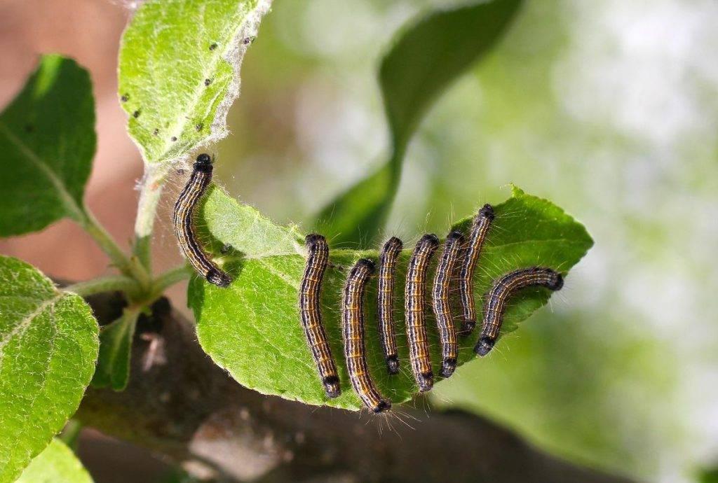Гусеницы на яблоне: как бороться во время плодоношения, народные средства