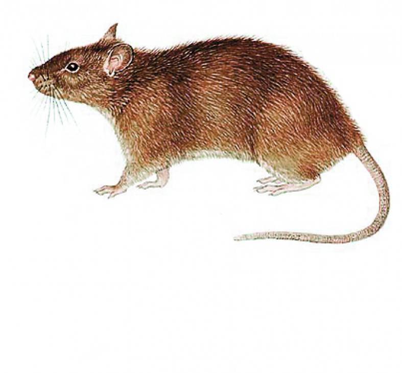 Декоративные мыши описание породы, характеристики, внешний вид, история, фото