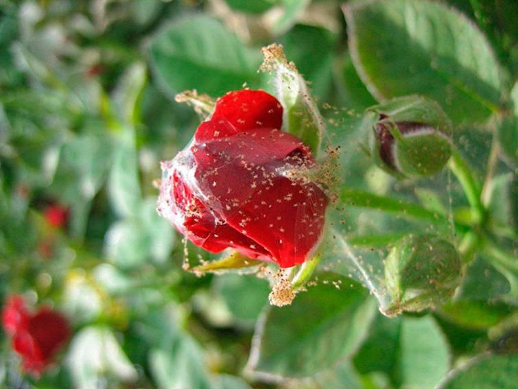 Как бороться с паутинным клещом на розах в домашних условиях