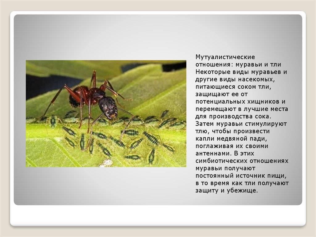 Муравьи и тля взаимоотношения симбиоз разводят пасут доят