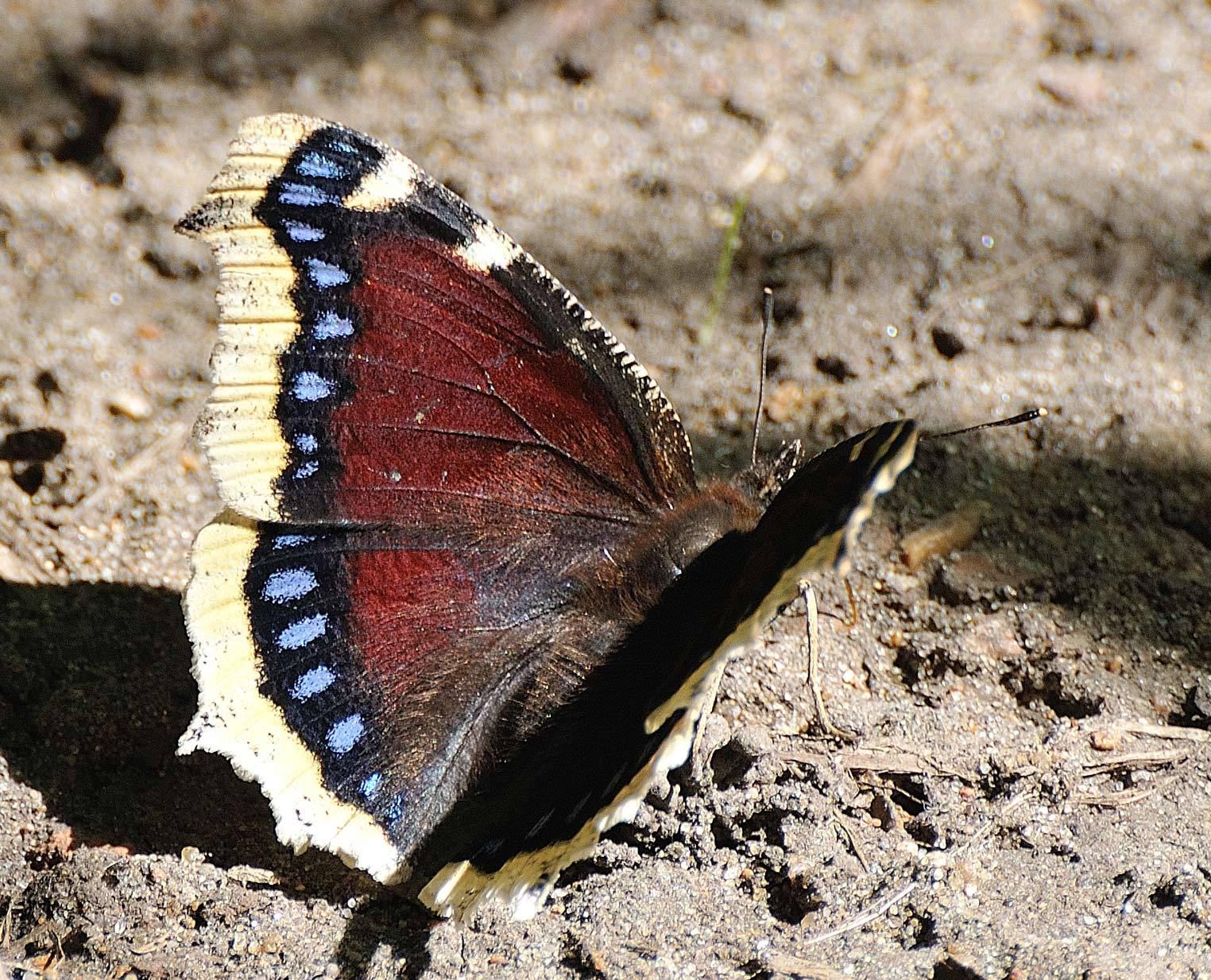 Бабочка репница — описание, среда обитания, виды