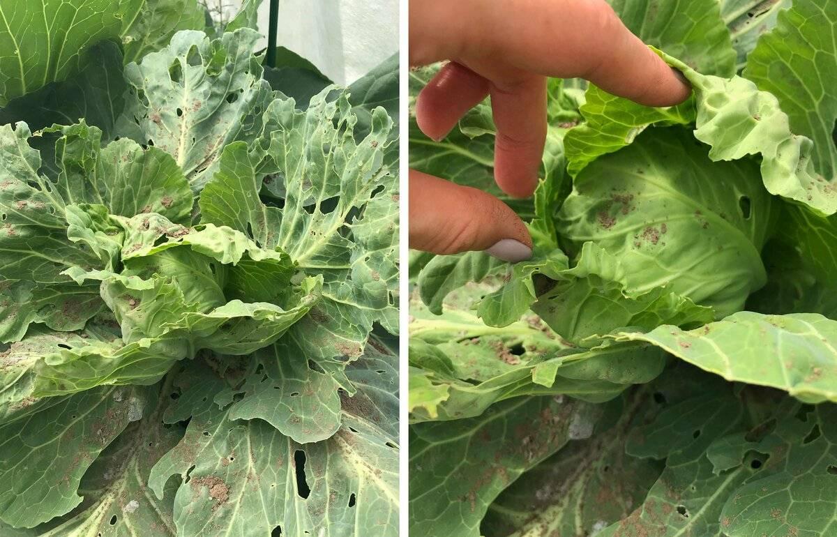 Как избавиться от гусениц на капусте: народные средства, советы эксперта